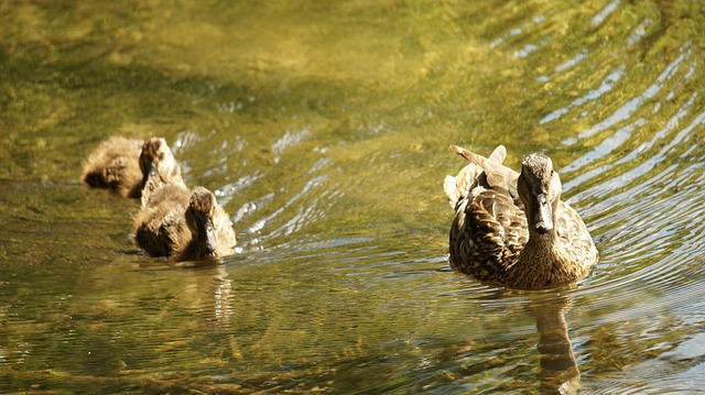Enten Entenküken Neugierde Wasser Schwimmen